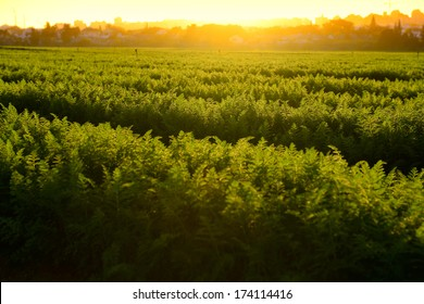 view of fresh carrot field at sunlight