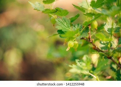 View to fresh green gooseberries on a branch of gooseberry bush in the garden. Close up view of the organic gooseberry berry hangs on a branch under the leaves