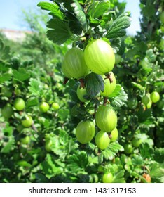 View to fresh green gooseberries on a branch of gooseberry bush in the garden.