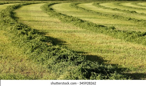 A view of a freshly cut alfalfa field to be dried and baled.