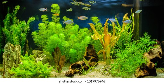 The view of freshwater aquarium with tropical fish, shrimps and water plants