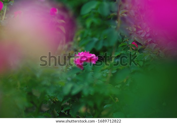 View of fuchsia and green in rose field.