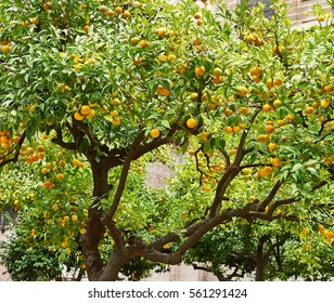 View of garden with orange trees hung with ripe fruits in the harvest.