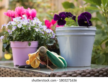 View of Garden Table with Tools and Different Beautiful Flowers and Colorful Pots. Concept: Hobby Gardening & Planting Autumn – Winter - Spring Flowers.