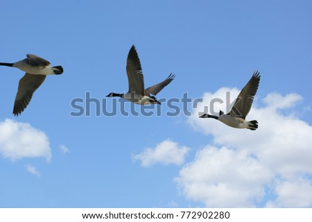 View of geese flying against a blue sky background.
