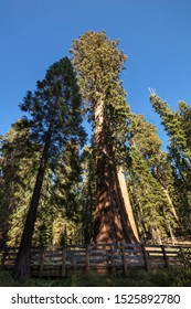 A view of General Sherman Tree, the largest living tree and organism on Earth. This Sequoia Tree stands 275 feet (83 m) tall, and is over 36 feet (11 m) in diameter at the base.