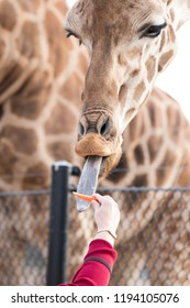 View of a giraffe being fed a carrot, with a close up macro view of the face, hand and tounge