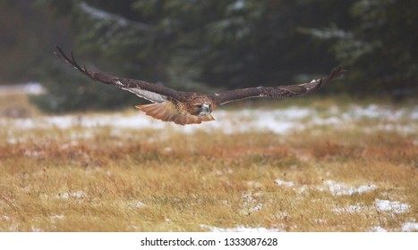 View of a gliding red-tailed hawk with a great wingspan flying above the meadow at a winter time