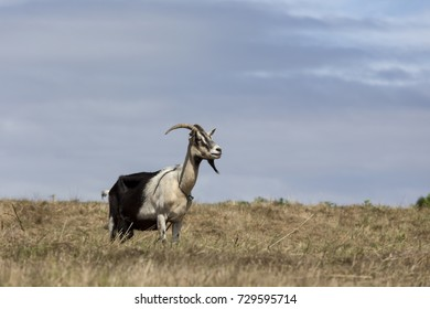 view of a goat in a garden in Europe