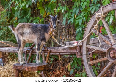 View of goat on top of a wooden bench and fastened with a rope to a traditional wooden cart, on display at the medieval fair in Portugal