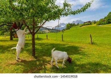 View of goats and Ellmauer Halt Mountain peak near St Johann, Austrian Alps, Tyrol, Austria, Europe 1-6-2019