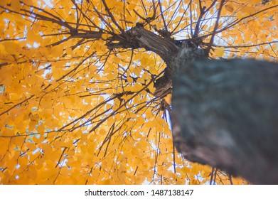 Up view golden autumn tree