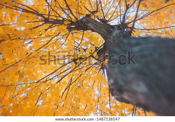 Up view golden autumn tree