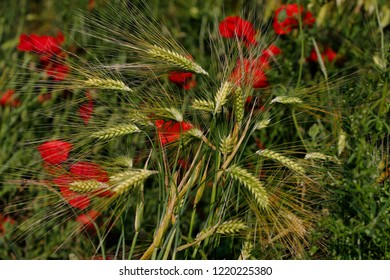 View of golden wheat field with papaver flowers. Summer countryside landscape. Macro photography of nature.