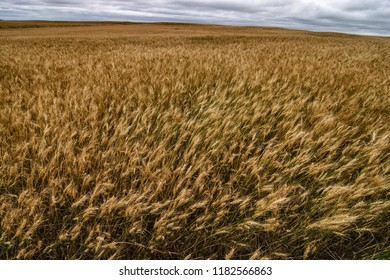 A view of a golden wheat field under a cloudy sky