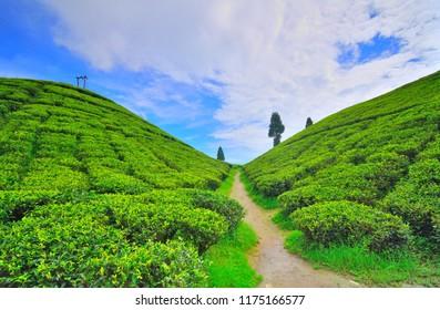 View of Gopaldhara tea garden at golpahar view point.