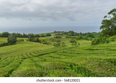 View of Gorreana Tea plantation, Sao Miguel, Azores