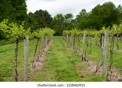 View from a grape vineyard row