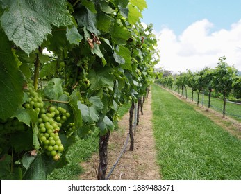 View of grapes in a vineyard
