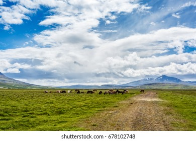 View of grazing horses on the grass on background of mountains. Iceland.