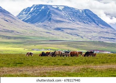 View of grazing horses on the grass on background of mountains. Iceland. Focus on horses.