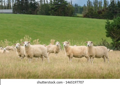 View of grazing sheep on a meadow, South Island New Zealand