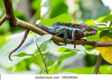 View of a green chameleon on a branch in a swiss zoo