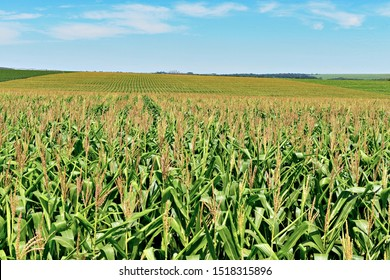 View of green cornfield with blue sky