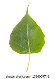Top view of green Ficus religiosa leaf (Bo Tree, Bodhi Tree, Pipal Tree) isolate on white background.(nature color)