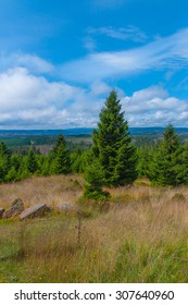View of green pines in Harz National Park, Germany.