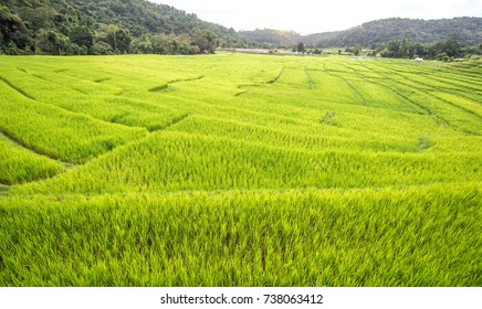 view of green rice field in morning