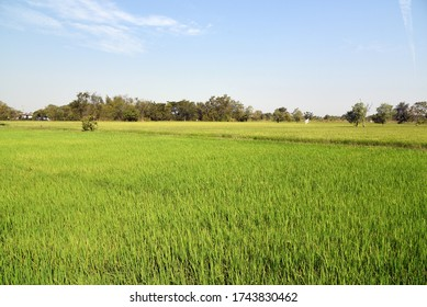 View of a green rice fields