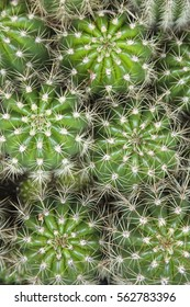 A view of green spikey cactus plants