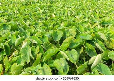 View of Green Taro Plant