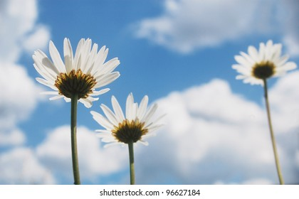View from the ground of beautiful summer ox-eye daisy flowers.