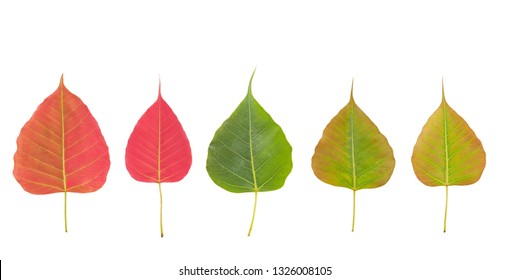 Top view a group of Ficus religiosa leaves (Bo Tree, Bodhi Tree, Pipal Tree) beautiful red wine and green color isolate on white background, (nature color no graphic)