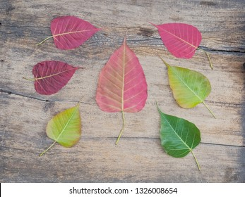 Top view a group of Ficus religiosa leaves (Bo Tree, Bodhi Tree, Pipal Tree) beautiful red wine and green color on wood texture background, (nature color no graphic)