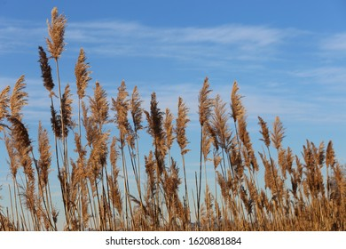 View of group of silhouettes of cosmopolitan common reeds, also called phragmites australis, in mediterranean region, France. Thin leaves and stems at the foreground. Blue sunset sky in backgound,