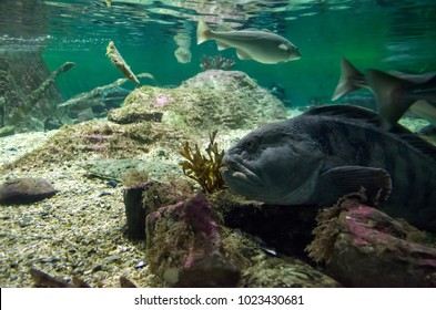 View of Halibut and other fish underwater