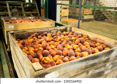 View of harvest of ripe peaches packed in large wooden boxes ready for storage or delivery to stores