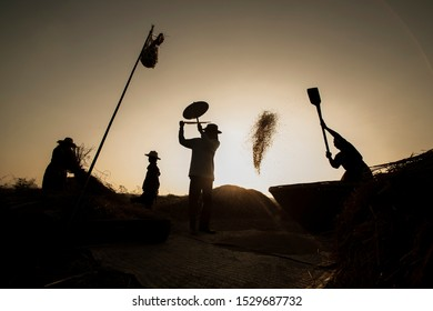 View of harvested field. Farmer harvesting rice in countryside ,on  sunset.