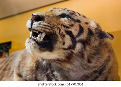 View of the head of a Tiger taxidermy.
