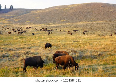 View of a herd of bison in the grass in the Lamar Valley in Yellowstone National Park