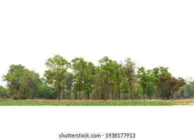 View of a High definition Treeline isolated on a white background, Green trees, Forest and foliage in summer.