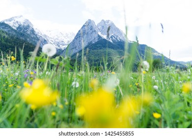 View to the highest mountain zugspitze from a field with flowers in spring/summer near grainau. The highest mountain and point in Gemany is the Zugspitze near Grainau