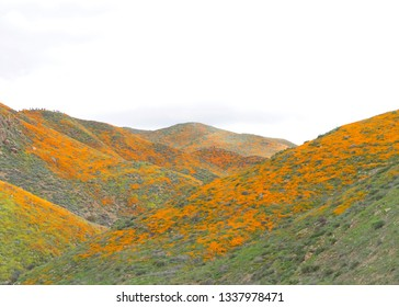 View of the hills along Walker Canyon in Lake Elsinore, Southern California exploding in orange poppy flowers, cloudy skies above. Super bloom.
