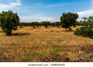 view of the hills rich in yellow wheat green olive groves and rows of vines in the archaeological park of Selinunte Trapani Sicily Italy