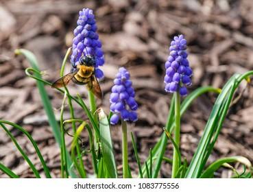 View of a honeybee on grape hyacinth flowers; spring in Missouri
