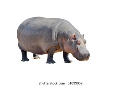 View of huge hippopotamus isolated on white background