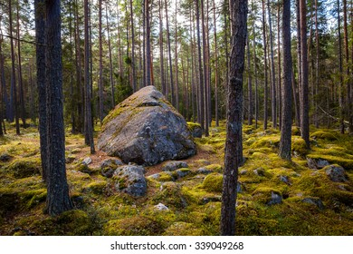 View of huge pine trees in a forest with moss covered boulders. Lahemaa national park, Estonia